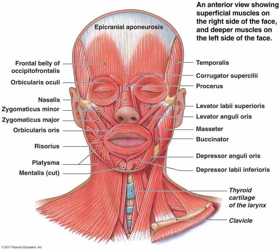 labeling Labeling Facial Muscles exercises see related pages muscles of facial expression k · the tongue and pharynx