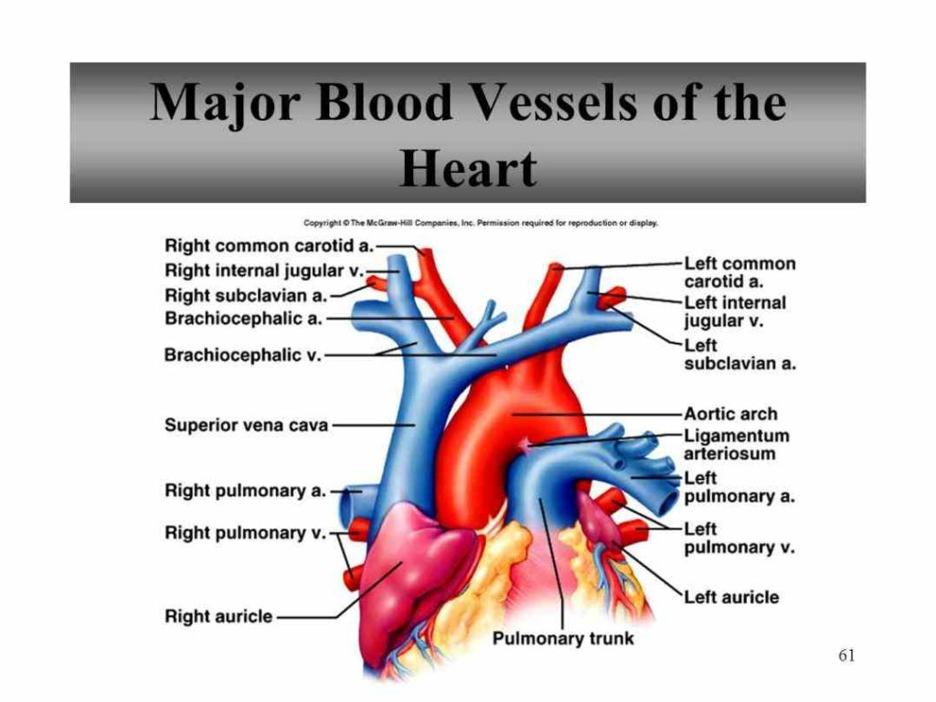 learn major blood vessels in the heart more about great