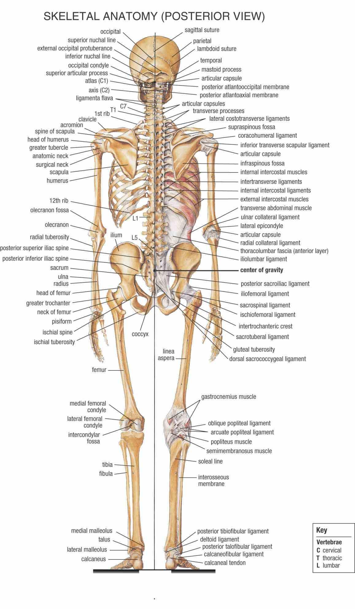Anatomy Of Bones In Skeleton Pictures Wallpapers