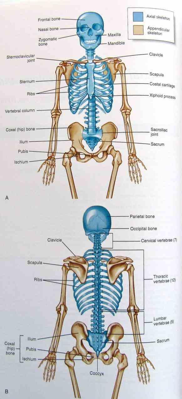 anatomy of appendicular skeleton bones. Black Bedroom Furniture Sets. Home Design Ideas