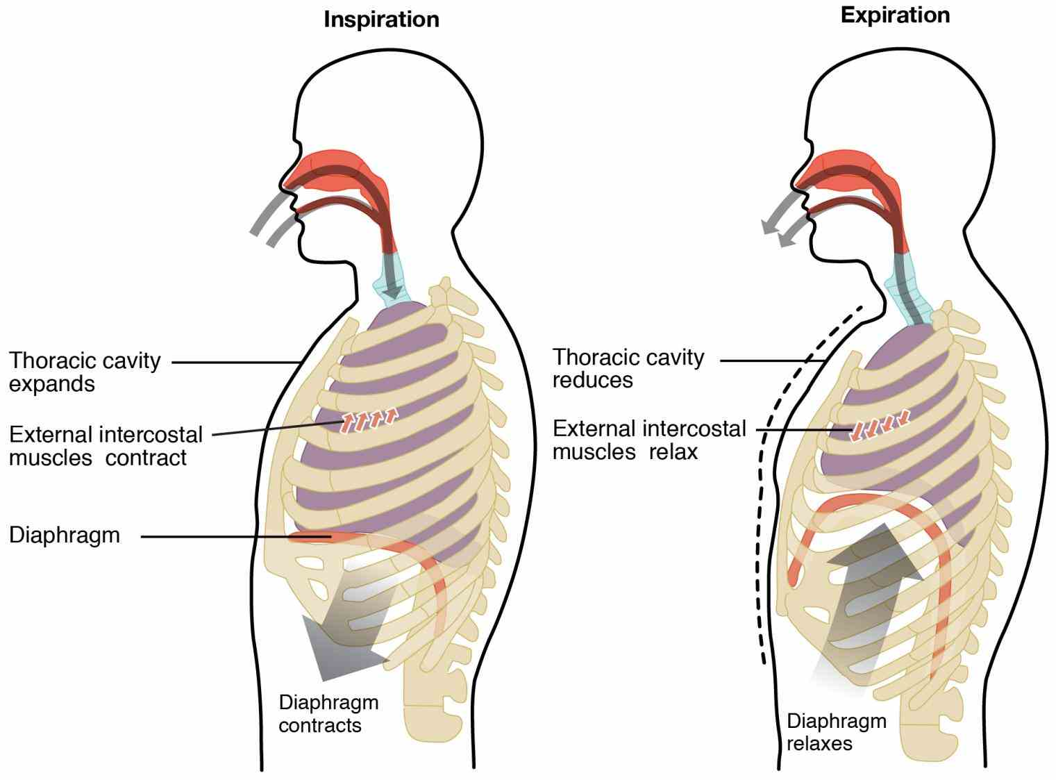 lungs location is quite easy to understand our chest cavity houses a pair of pulmonary organs which open external