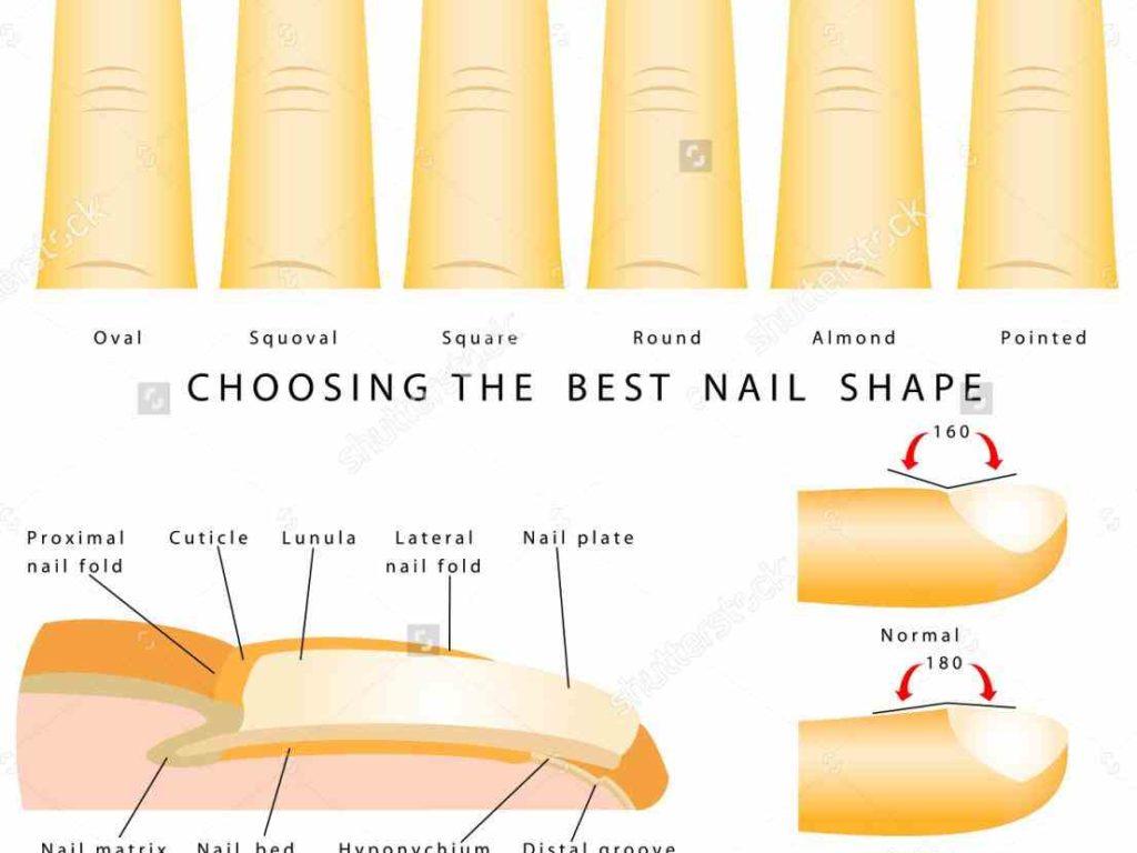 Beautiful Anatomy Of Nail Illustration - Anatomy and Physiology ...