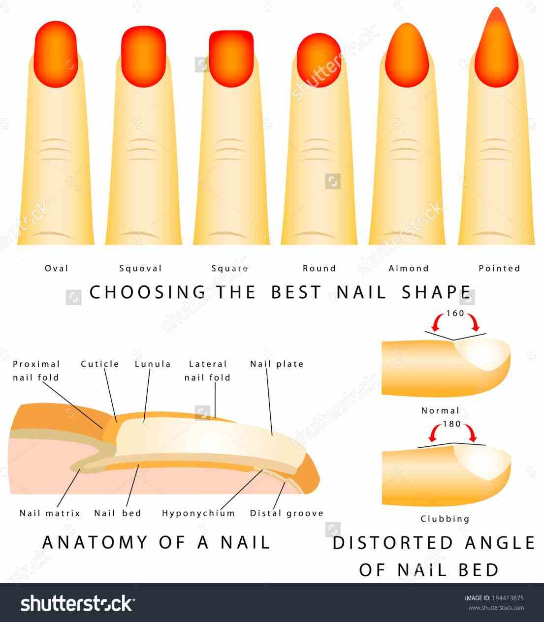mammals nails are similar to claws animals de Anatomy Of The ...