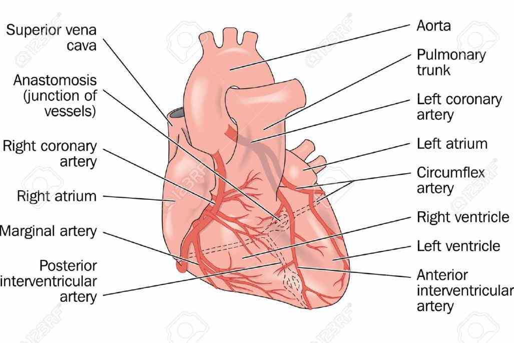 muscle there are two main right and left coronary Arteries Of Heart With Diagram circulation is the of blood