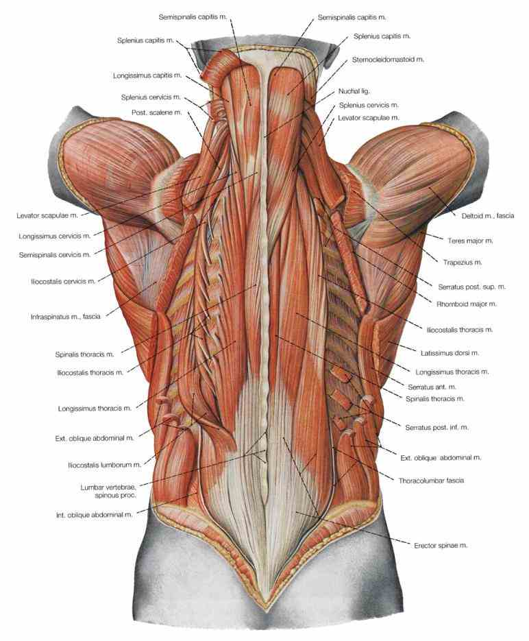 muscles globoides pinterest lower anatomy human chart page of pictures body human Lower Back Muscle Anatomy anatomy chart page