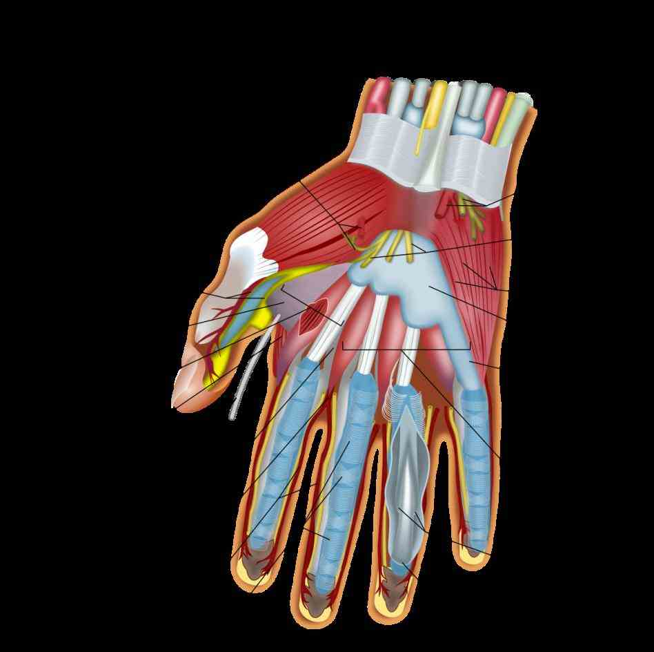 nerves — each which has sensory motor components de Anatomy Of The Hand Nerves mar entrapment neuropathies of the
