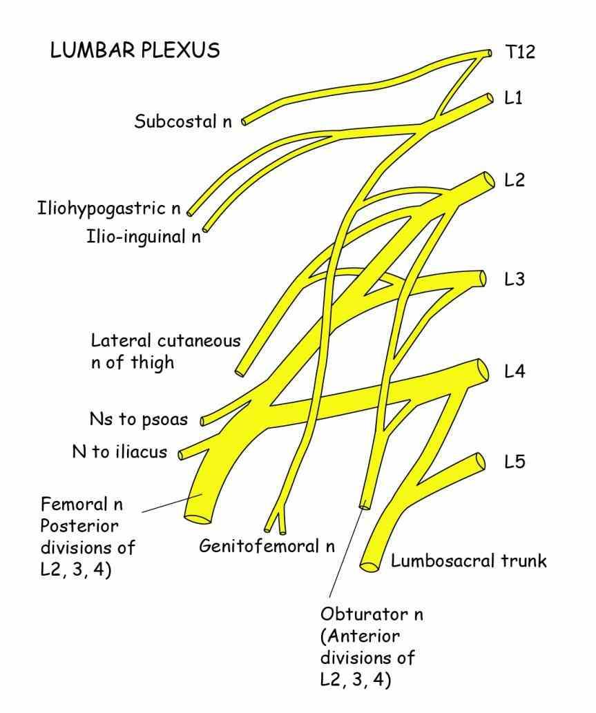 Lumbosacral Plexus Anatomy