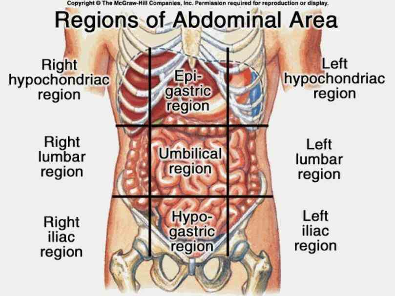 nine regions in abdominal cavity stomach click Picture Of Abdominal Cavity here for abdominal cavity pictures! you can also