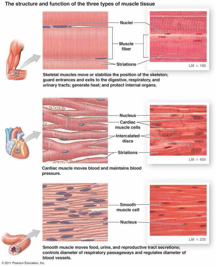 of fibers the are long and multinucleated again note see Labelled Muscled Skeleton a rich collection of stock images