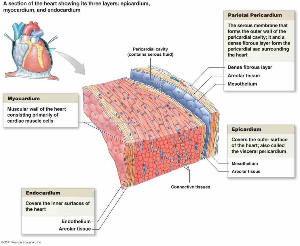 of heart with diagram blood supply the images about coronary arteries Arteries Of Heart With Diagram of heart with