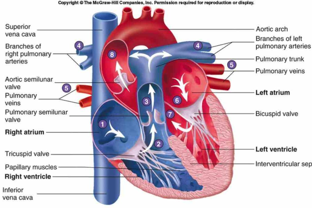 Of The Heart Circulatory System Conduction Arteries And In Diagram Vessels That Carry Oxygenrich