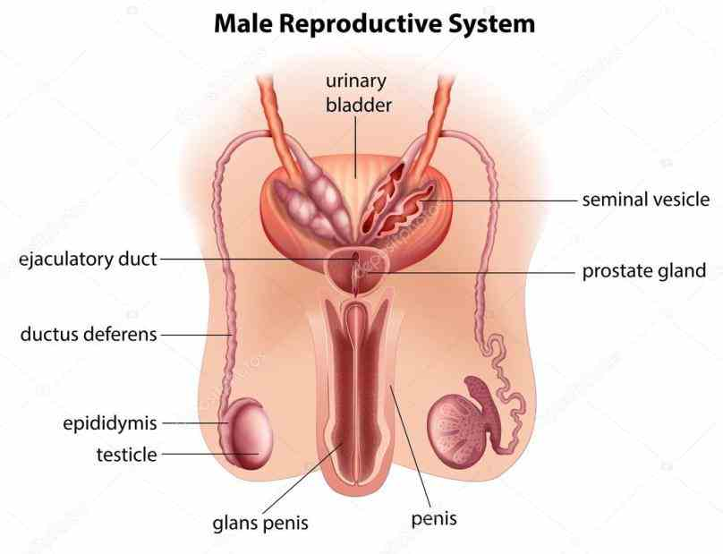 on janux that open to anyone learn more at httpjanuxouedu a Anatomy Of A Male Reproductive System look at