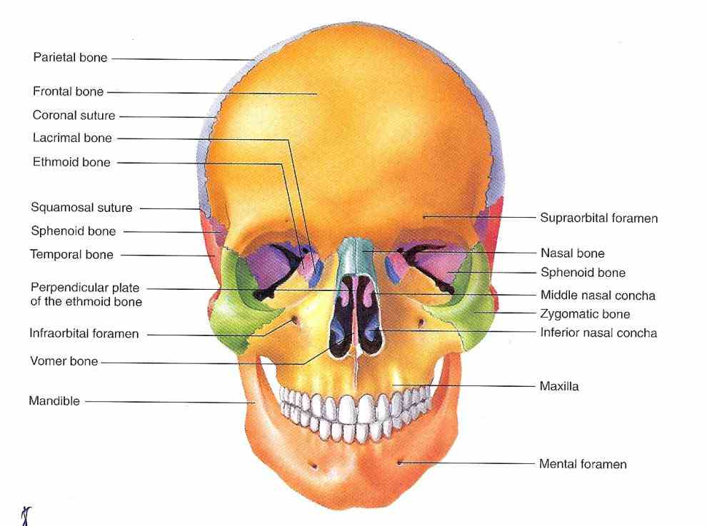on shutterstock explore quality art & more the Labeled Diagrams Of Skull cranium skull is skeletal structure of head