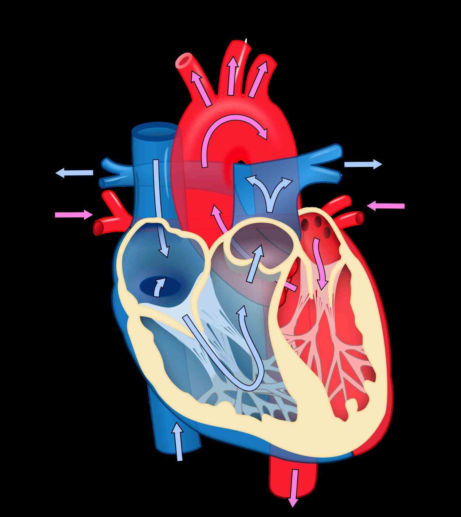 Heart Diagram With Labels And Blood Flow | MedicineBTG.com