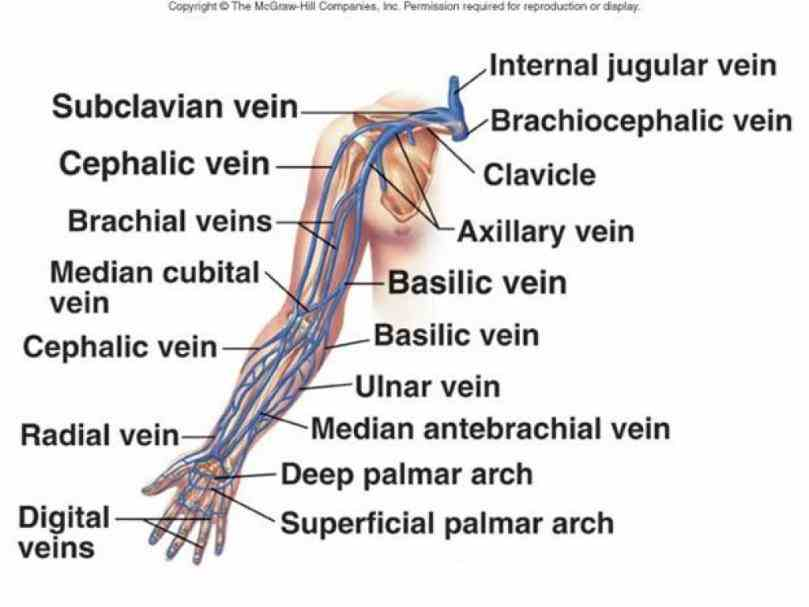 parallel arteries of the  the Anatomy Of The Veins In The Arm anatomy of basilic vein in arm is