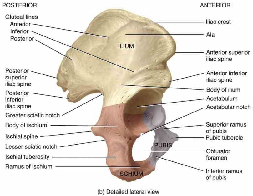 parts ilium ischium pubis two bones join at pubic symphysis together with sacrum the Anatomy Of Hip And Pelvis