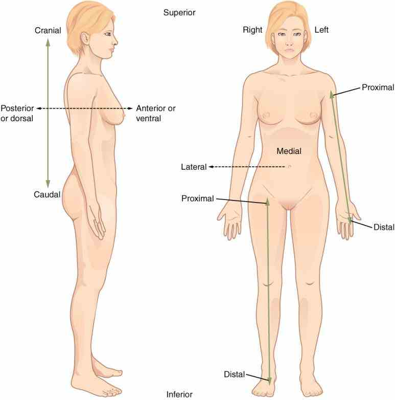 posterior for example in position most superior part human is head inferior feet in Dorsal Region Of The Body