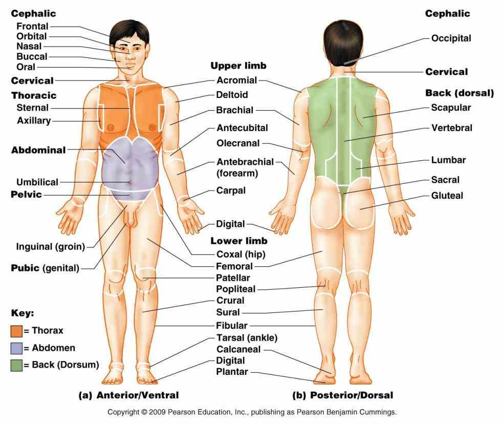 posterior view contents [hide] regions; deprecated or older regions standard Dorsal Region Of The Body Anatomy anatomical terms of