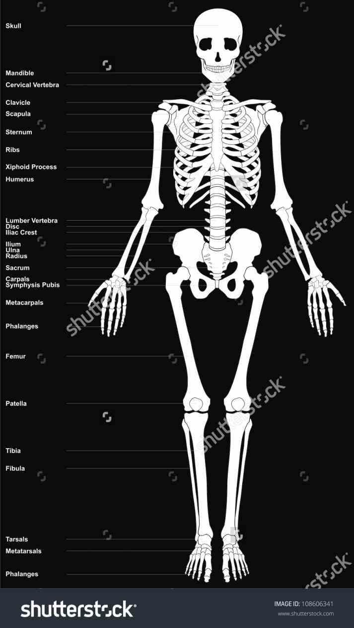 product anatomical human model life size cm the Major Bones Of The Human Skeleton Anatomy skeleton consists of bones
