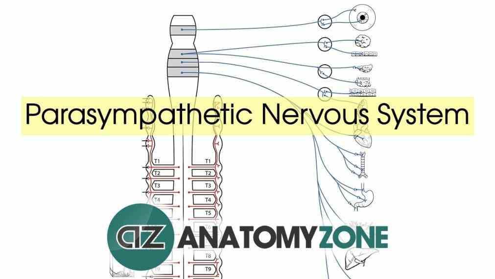 Reflex De Anatomy Sympathetic Nervous System Jan The Sympathetic