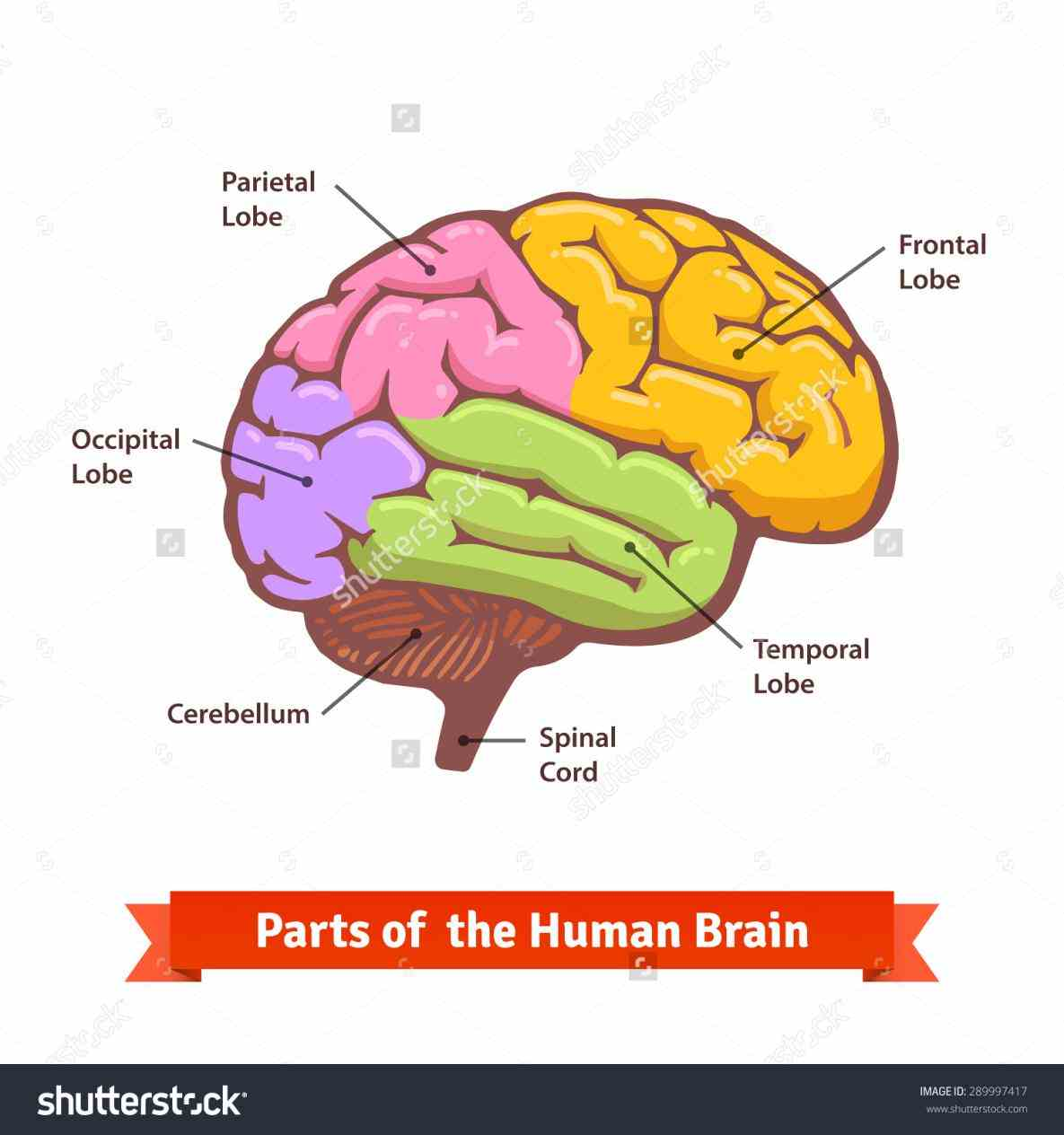 regions first lets define the  can Labeled Areas Of The Brain you name parts of the brain test your
