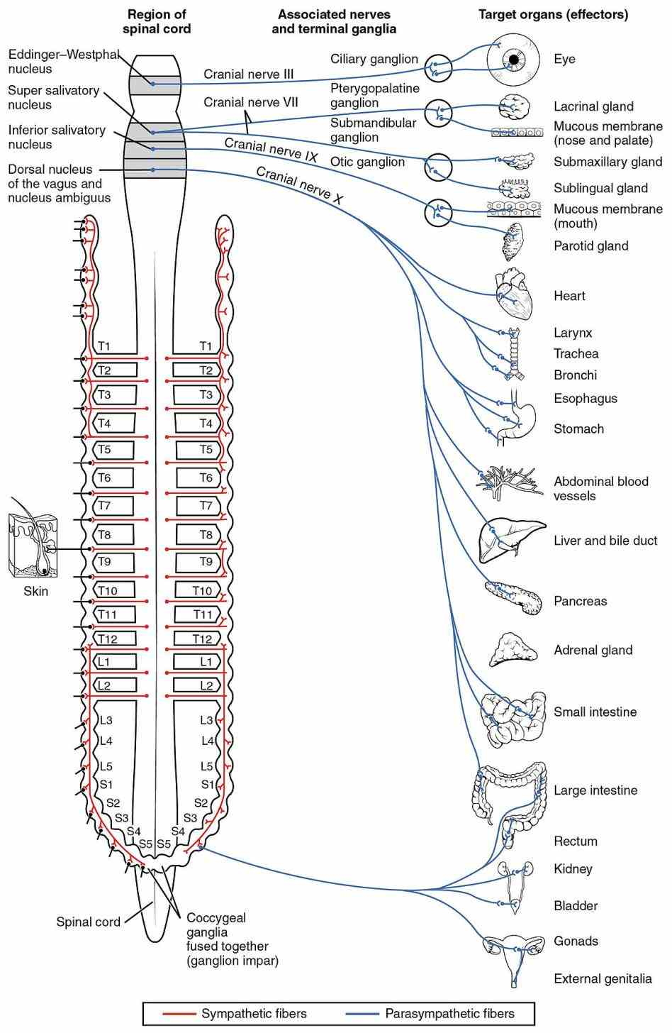 regulates involuntary functions anaesthesia surgery and critical illness lead to a varied degree of the Anatomy Autonomic Nervous System