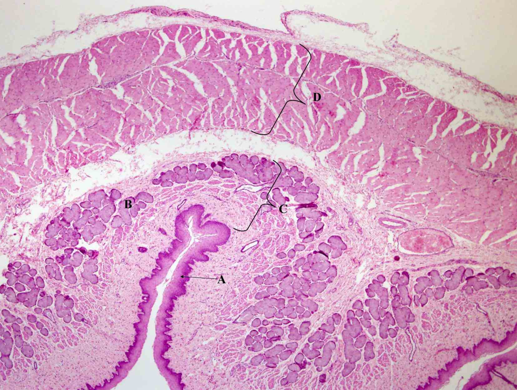 relatively rapid turnover and serves protective function against abrasive effects food in many the Epithelium Of The Esophagus esophageal