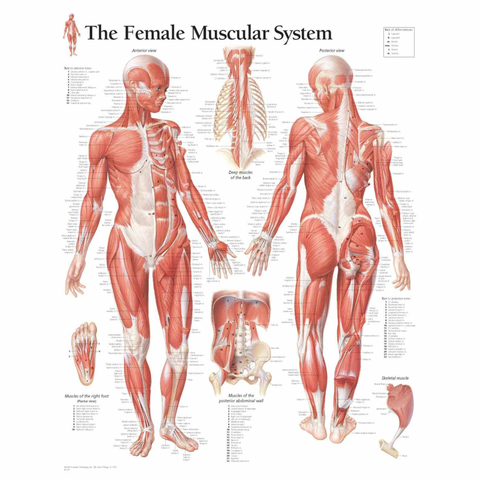 sartorius soleus items Female Muscular System Diagram Anatomy of our collection includes human muscle charts displaying informative diagrams the