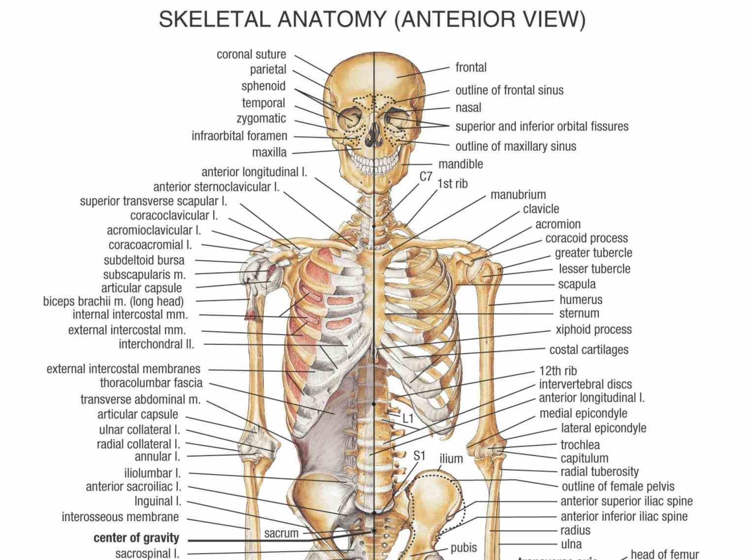 save ideas about human skeleton labeled on pinterest see more bones body human Labelled Human Skeleton skeleton diagram with