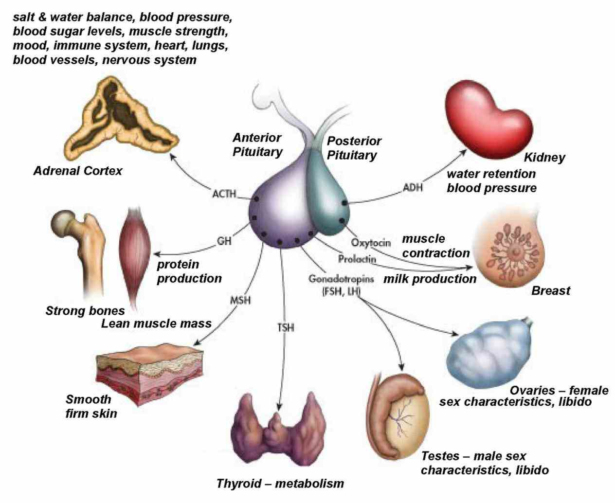 secrete cells to another coordinate functions different parts body the Endocrine System Functions And Parts human endocrine system –