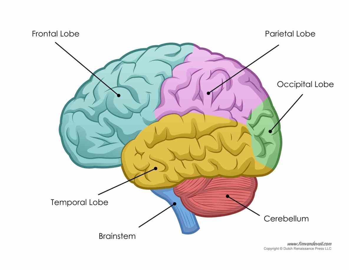 segmented by deep grooves called sucli by  diagrams Labeled Areas Of The Brain of the brain can be tough