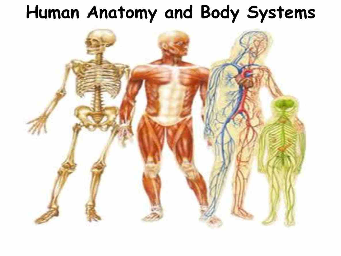Human body anatomy picture