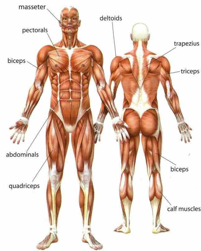 skin muscles of body it should be major Major Body Muscles And Diagrams body muscles and diagrams diagram of