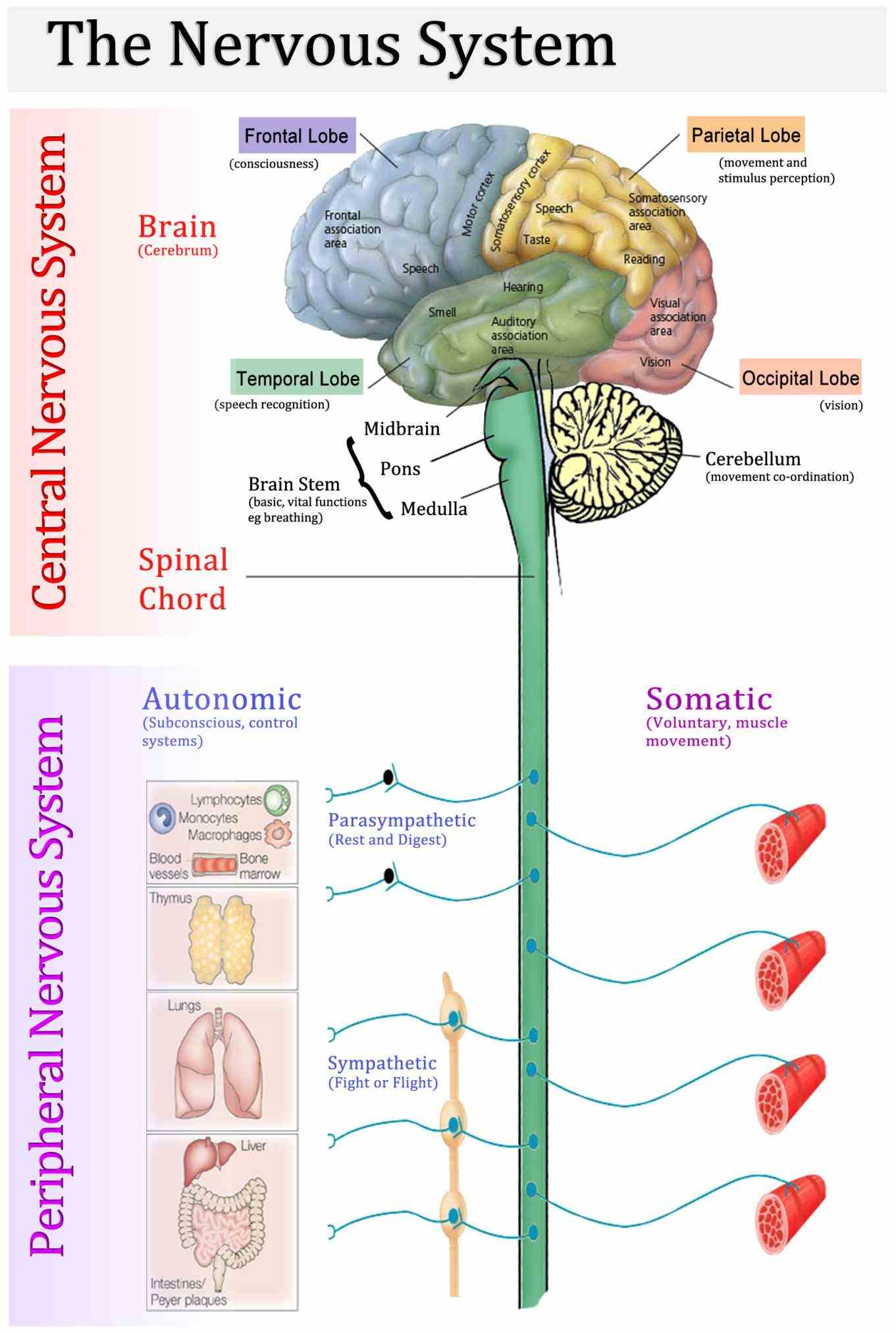 spinal cord it includes cranial nerves spinal some Anatomy Of Peripheral Nervous System peripheral structures are incorporated into the