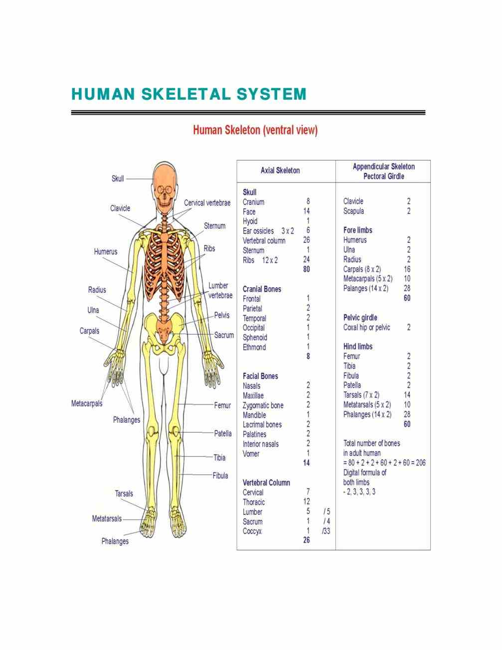 start Cells Of The Skeletal System studying the skeletal system major cell types in bone tissue learn vocabulary terms