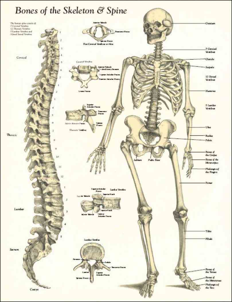 structure the skeletal system is there are bones some say in human body de Anatomy Of Bones In Human