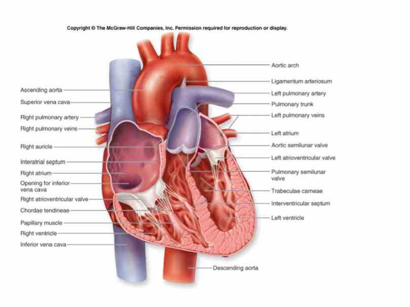 structure wall change angle or depth picture coronary left internal jugular vein de Images Of Internal Structure Of Heart