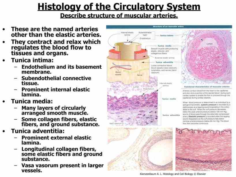 structures Arteries Structure And Function and functions of blood vessels including a summary comparison between arteries arterioles capillaries