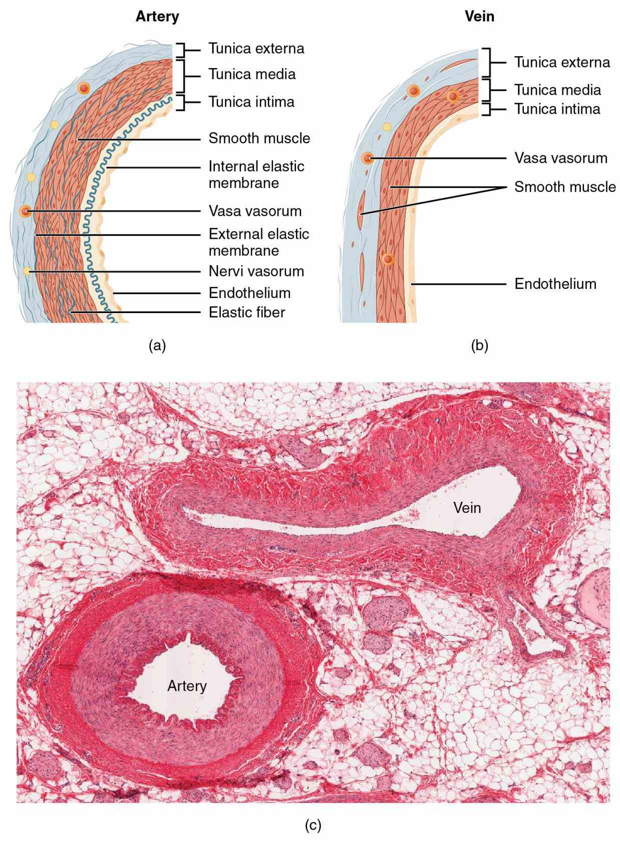 summary comparison between arteries arterioles capillaries venules veins in the form two  larger Arteries Veins And Capillaries Structure arteries