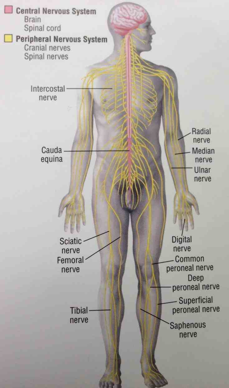 system learn topic now at kenhub the Anatomy Of Peripheral Nervous System human nervous system is very complex with