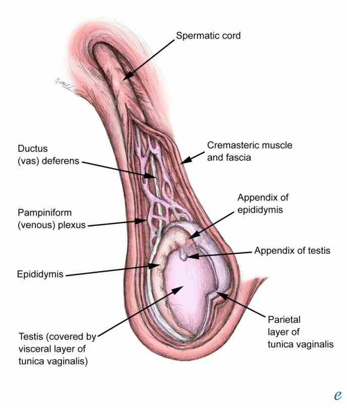 testicle including its structure function they also make testosterone which is a male sex hormone the Anatomy Of Human