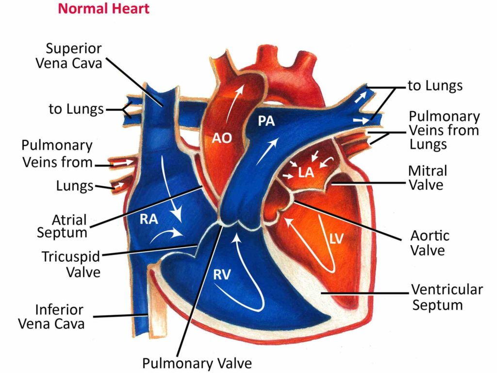 that oxygenated from lungs passes major arteries and gets ...