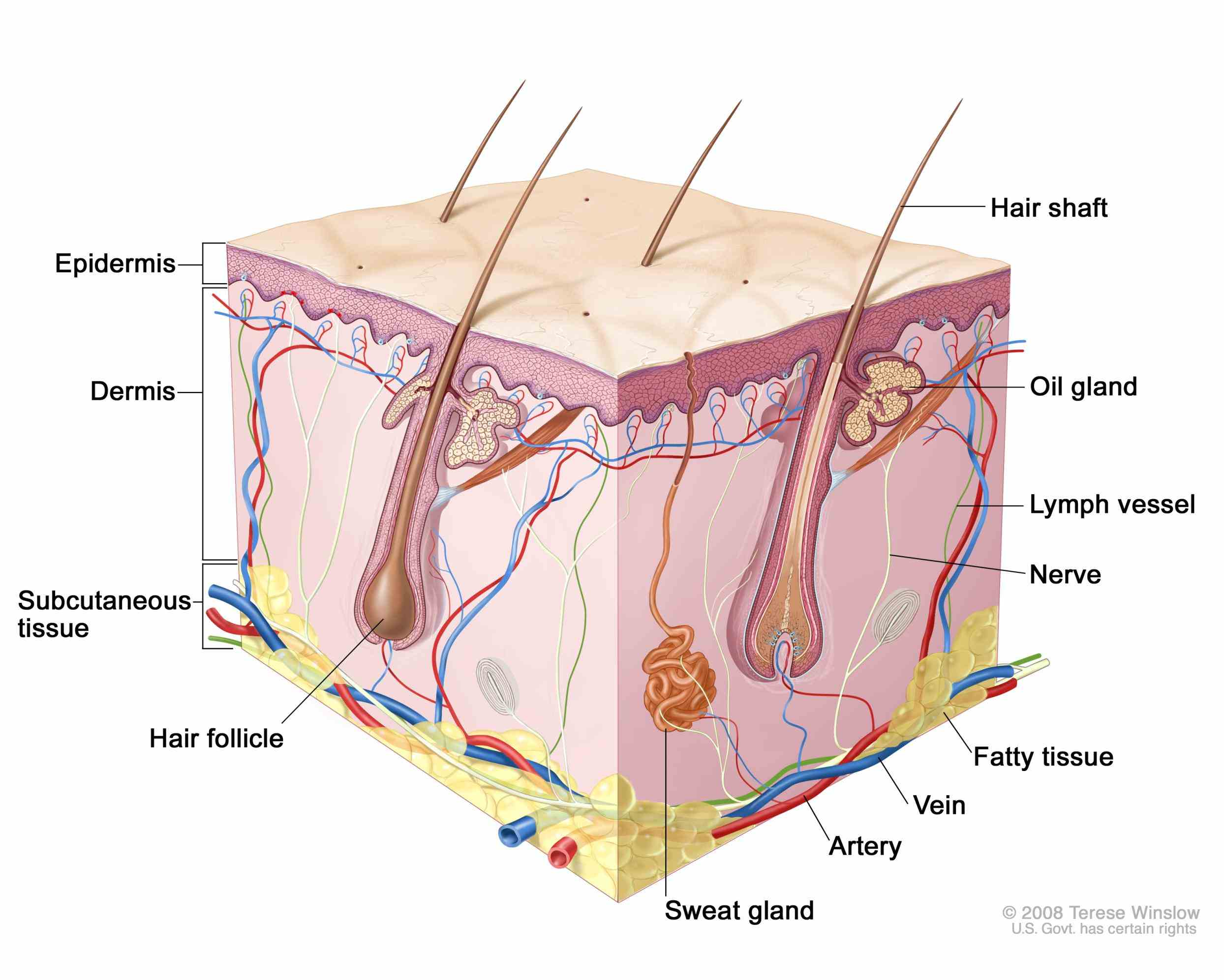 the Anatomy The Tissue In The Outer Layer Of The Skin skin is made of multiple layers cells