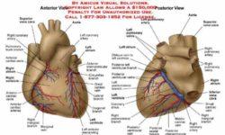 Arteries Of Heart With Diagram | MedicineBTG.com