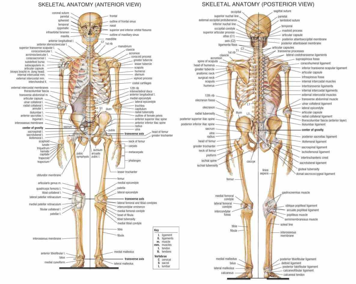 the Major Bones Of The Human Skeleton Anatomy main bones of human skeleton are skull cranium mandible and