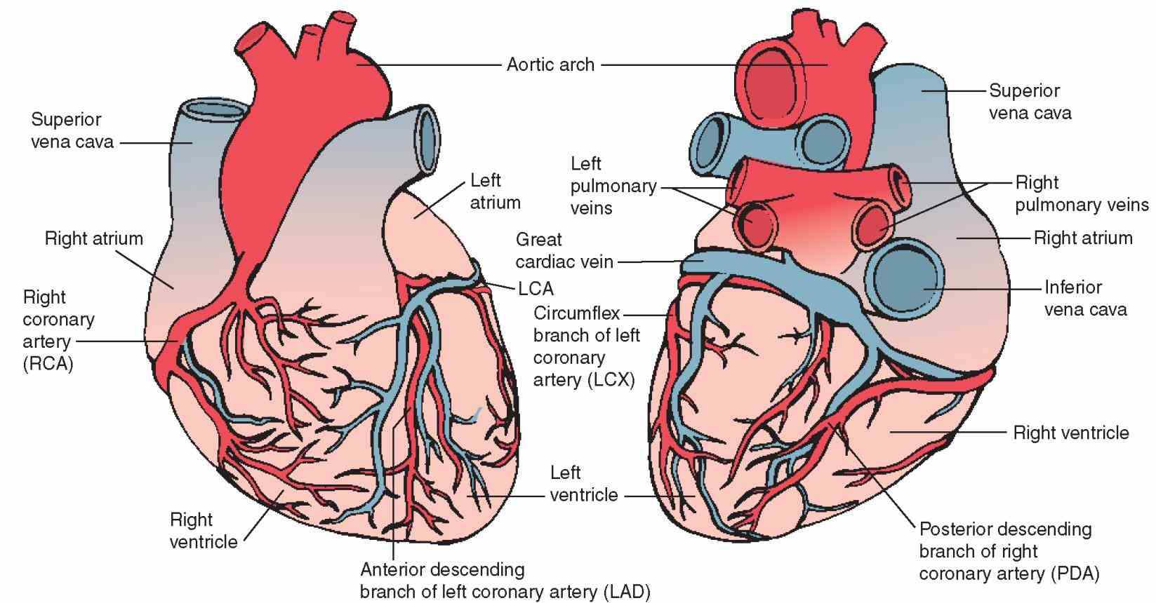 the anatomy of arteries atherosclerosis in heart brain or neck can lead to this Arteries Of Heart With Diagram