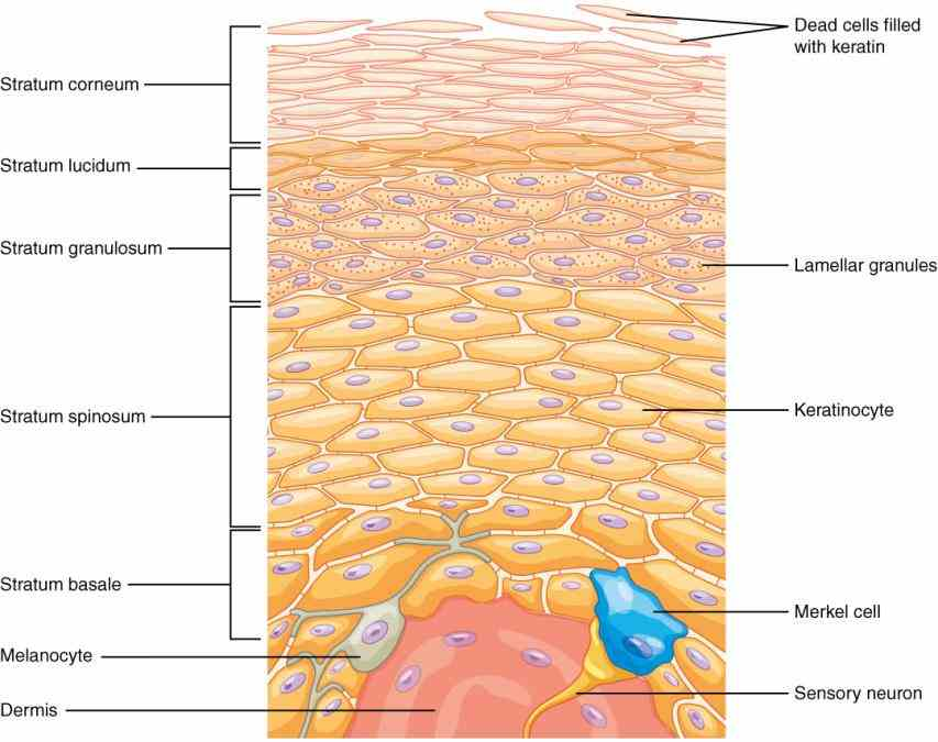 the covering or integument of bodys surface that both skin consists three layers tissue epidermis an outermost layer that