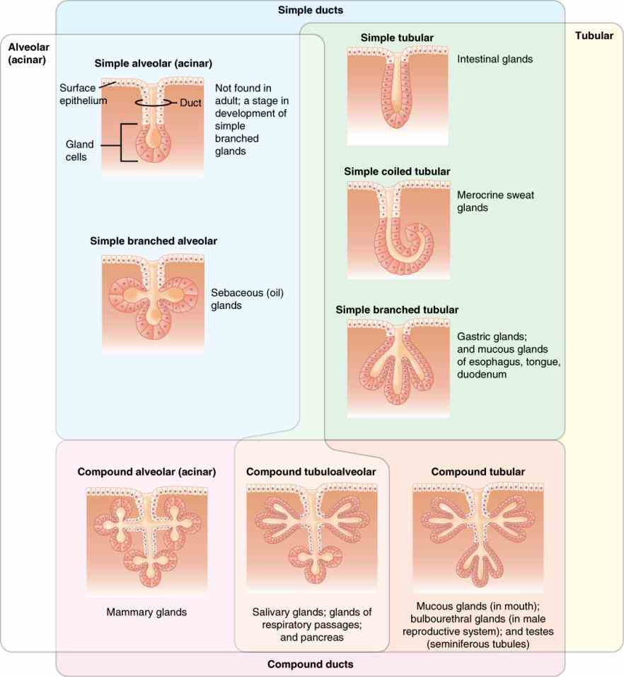 the glands of body protection is their major role start Glandular Epithelium Function And Location studying epithelial tissue glandular