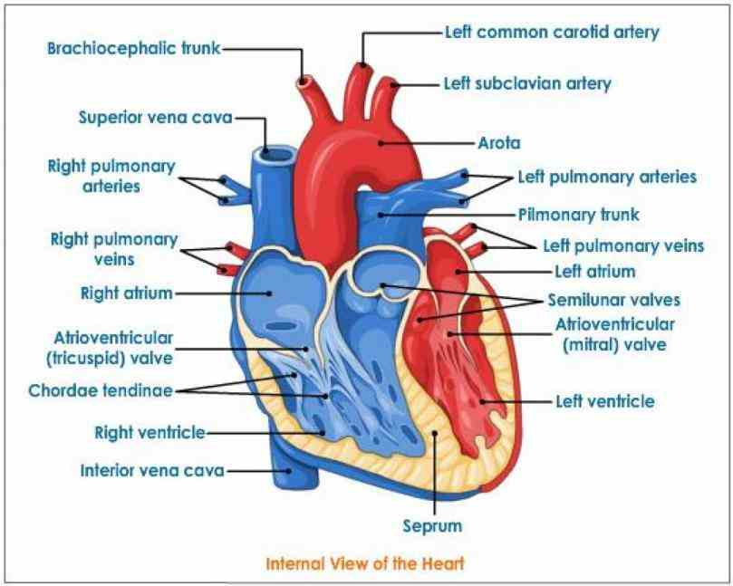 the internal structure of heart easy way by steps labeling the Heart Internal Structure Diagrams heart is a muscular