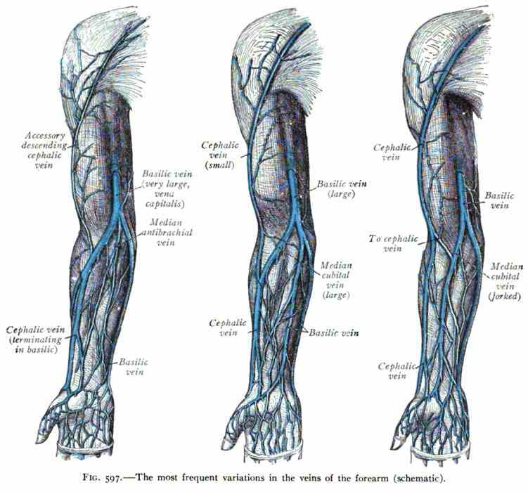 the radial side lateral of forearm cephalic vein runs up anatomical snuffbox along preaxial border upper limb it in